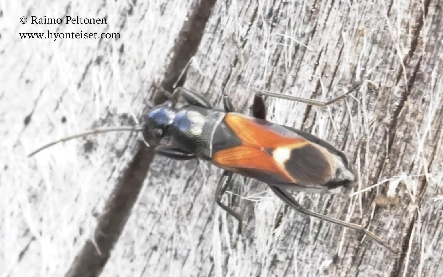 Pterometus staphylinoformis-kärppälude (det. Juha Haimi), 17.8.2016 Jyväskylä