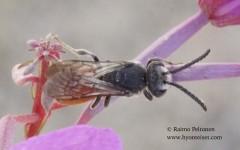 Sphecodes albilabris 1