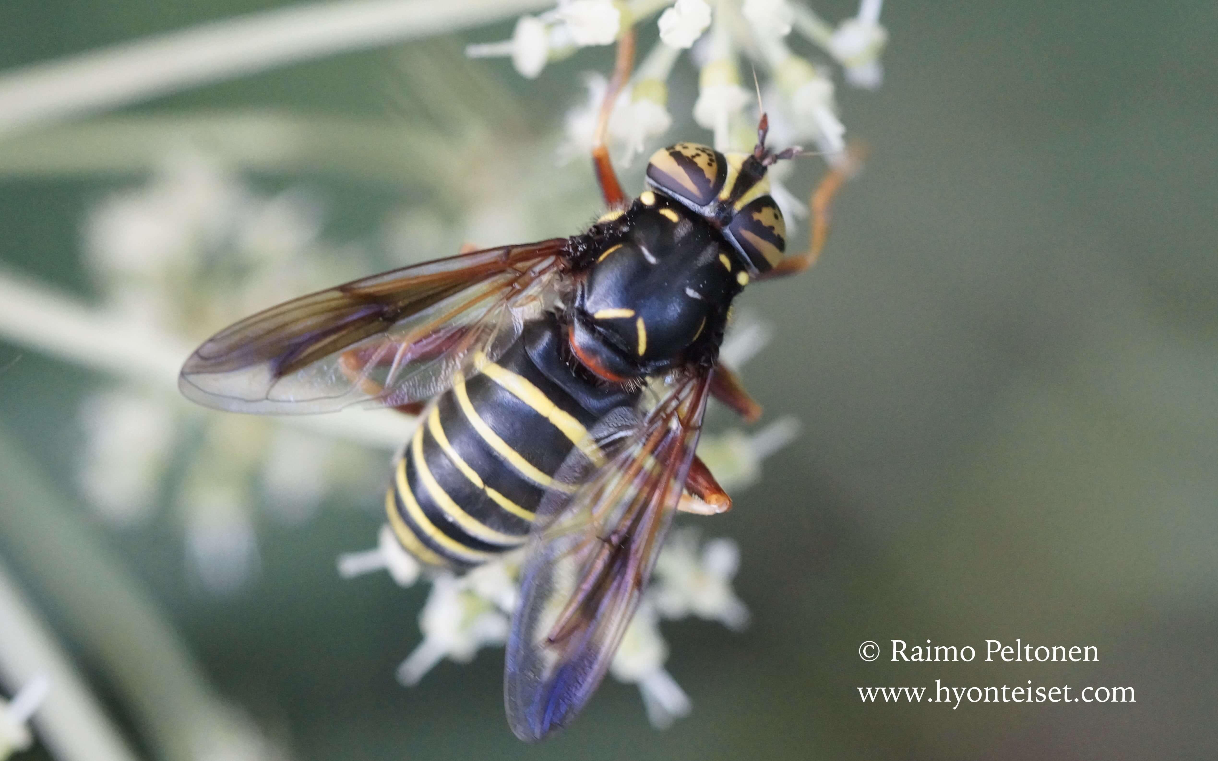Spilomyia diophtalma-ampiaispuuhari, 3.8.2016 Jyväskylä