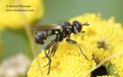 Thecophora cf. distincta 2