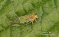 Cacopsylla sp. 1