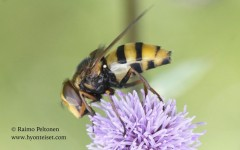 Volucella inanis 2