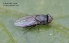 Ditrichophora palliditarsis 1