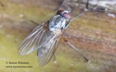 Hylemya nigrimana 1