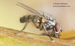 Hylemya nigrimana 2