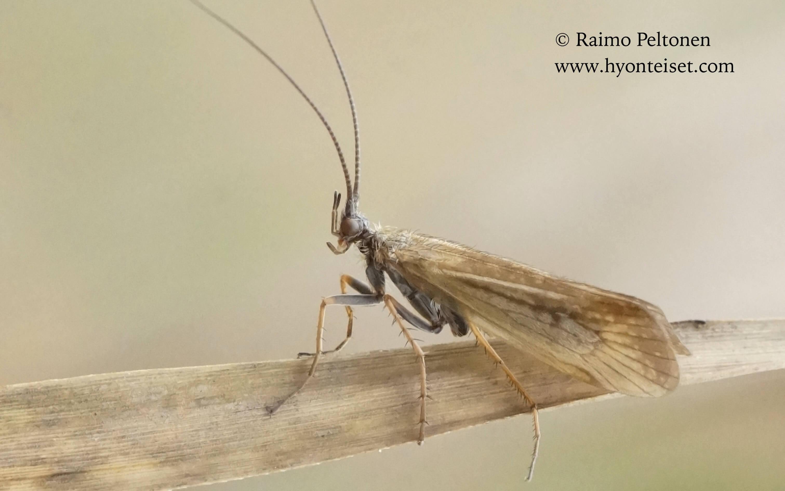 Limnephilus nigriceps-särmäputkisirvikäs, 10.9.2016 Jyväskylä