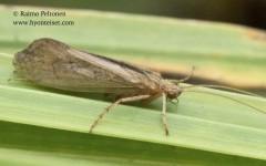 Limnephilus politus