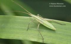 Megaloceroea recticornis 2