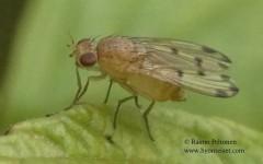Meiosimyza decempunctata 2