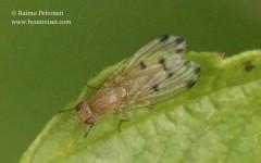 Meiosimyza decempunctata 1