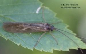 Potamophylax cf. rotundipennis 2
