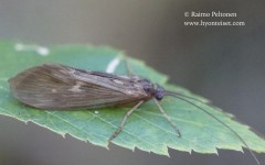 Potamophylax cf. rotundipennis 1