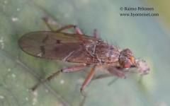 Scathophaga furcata 1