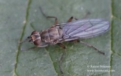 Trichopalpus fraternus 1
