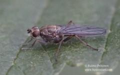Trichopalpus fraternus 2