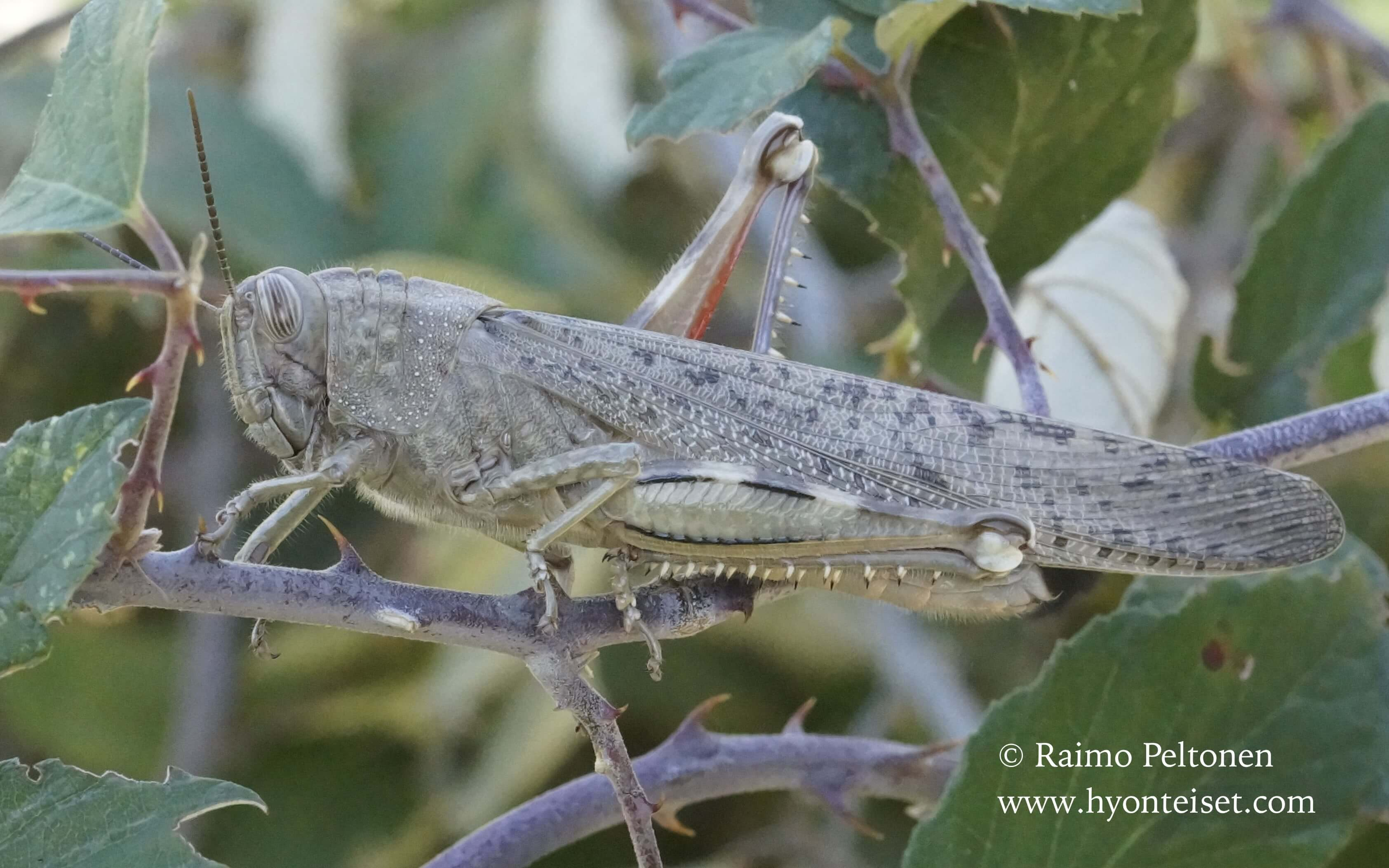 Anacridium aegyptium-egyptinsirkka (Acricidae), 12.10.2016 ITALIA