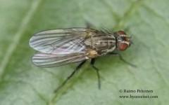 Botanophila fugax 1