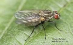 Botanophila fugax 2