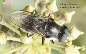 Cheilosia cf. caerulescens 1