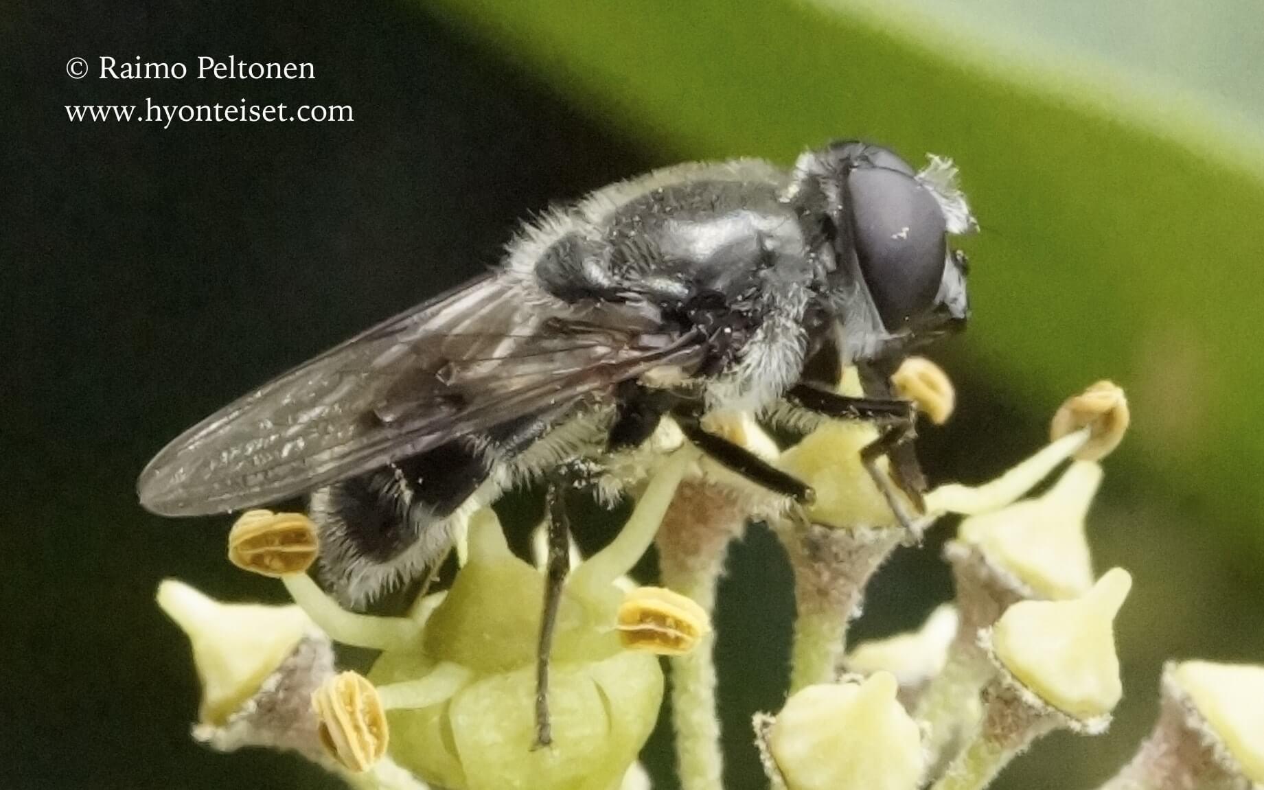 Cheilosia cf. caerulescens (Syrphidae) (det. Claudia Brueckner), 10.10.2016 ITALIA