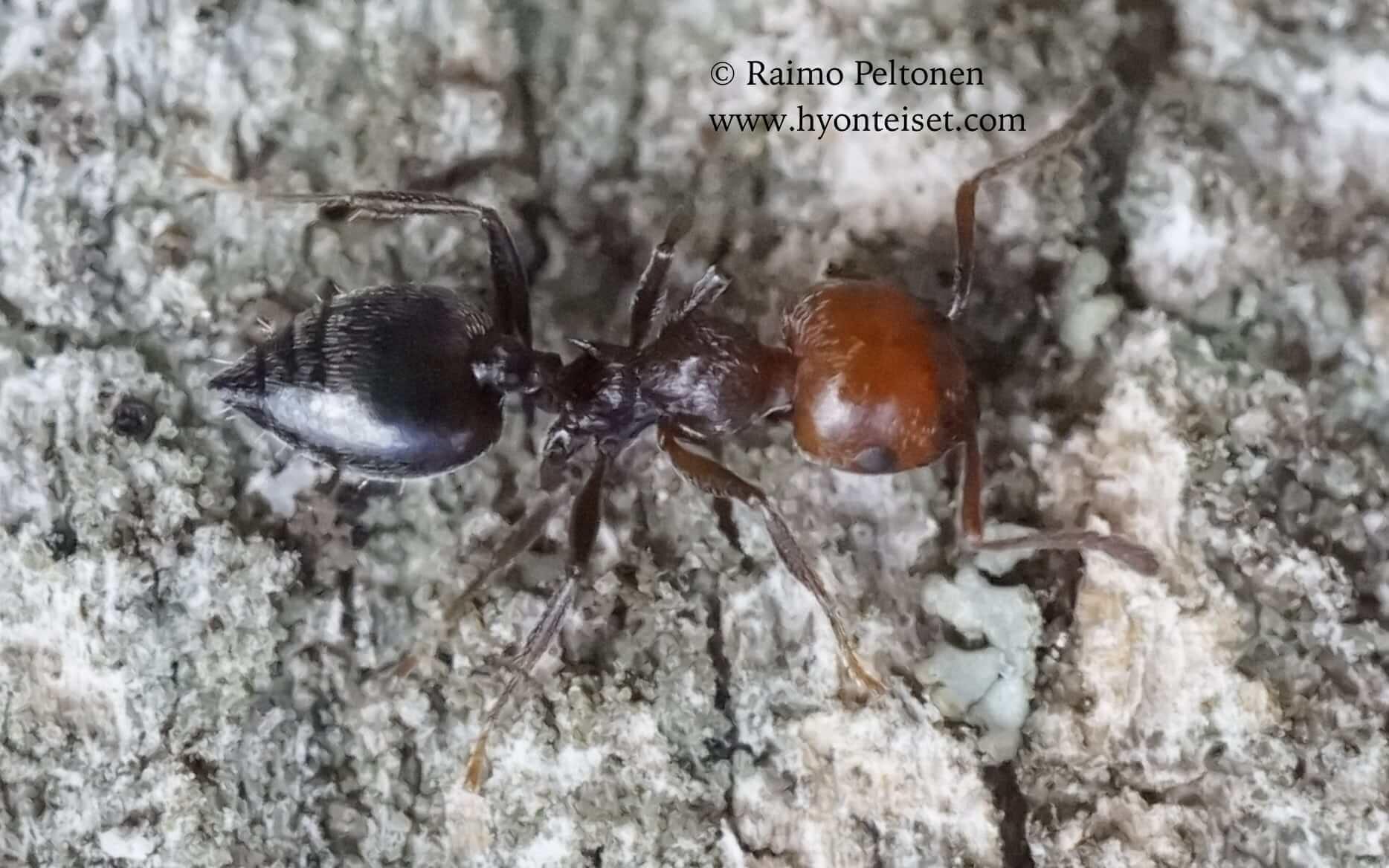 Crematocerus scutellaris (Formicidae), 10.10.2016 ITALIA