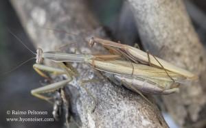 Mantis religiosa 2