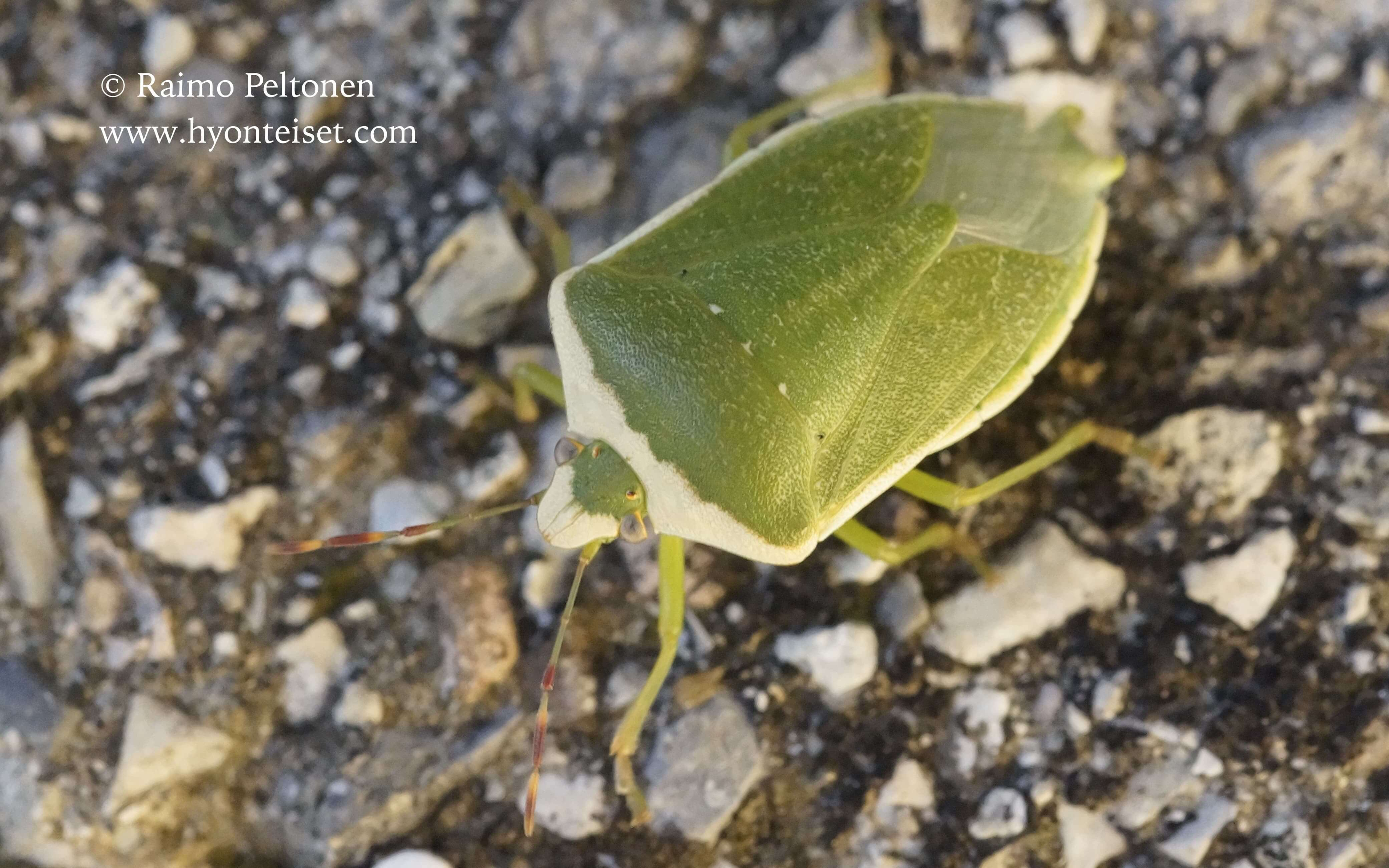 Nezara viridula var. torquata (Pentatomidae), 12.10.2016 ITALIA