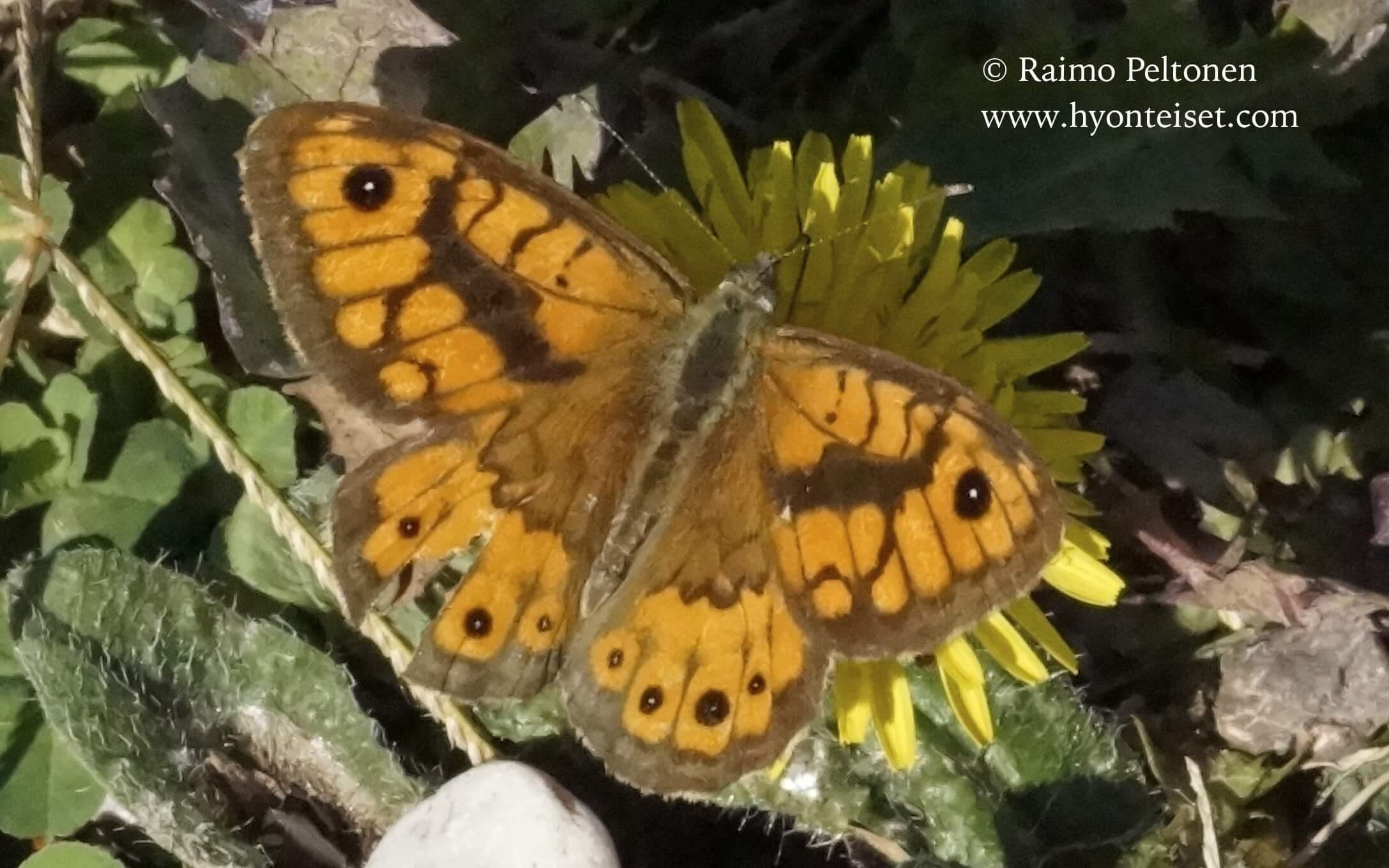 Pararge megera-ruostepapurikko, 10.10.2016 Italia