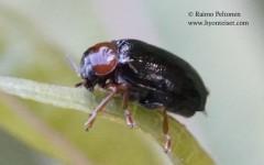 Smaragdina salicina/flavicollis 2