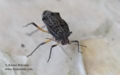 Tuberolachnus salignus