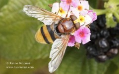 Volucella inanis 1