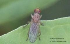 Morpholeria ruficornis