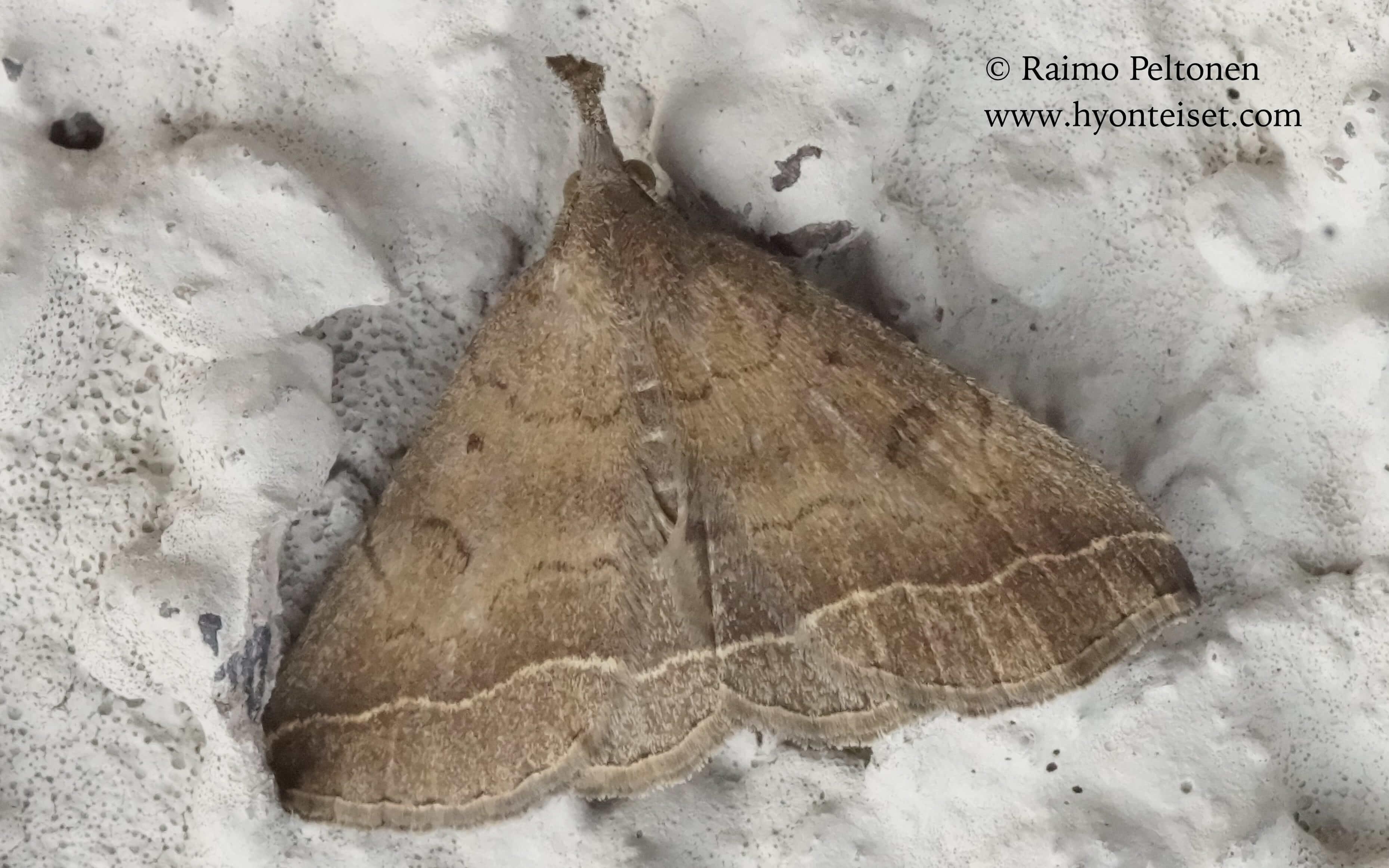 Pechipogo plumigeralis (Erebidae), 8.10.2016 ITALIA