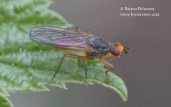 Scathophaga sp. 1