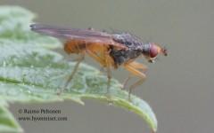 Scathophaga sp. 2