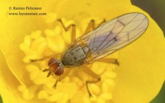 Scathophaga spurca 1