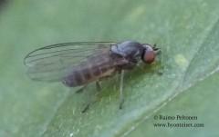 Agathomyia unicolor 2