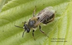 Andrena fucata/barbilabris 1