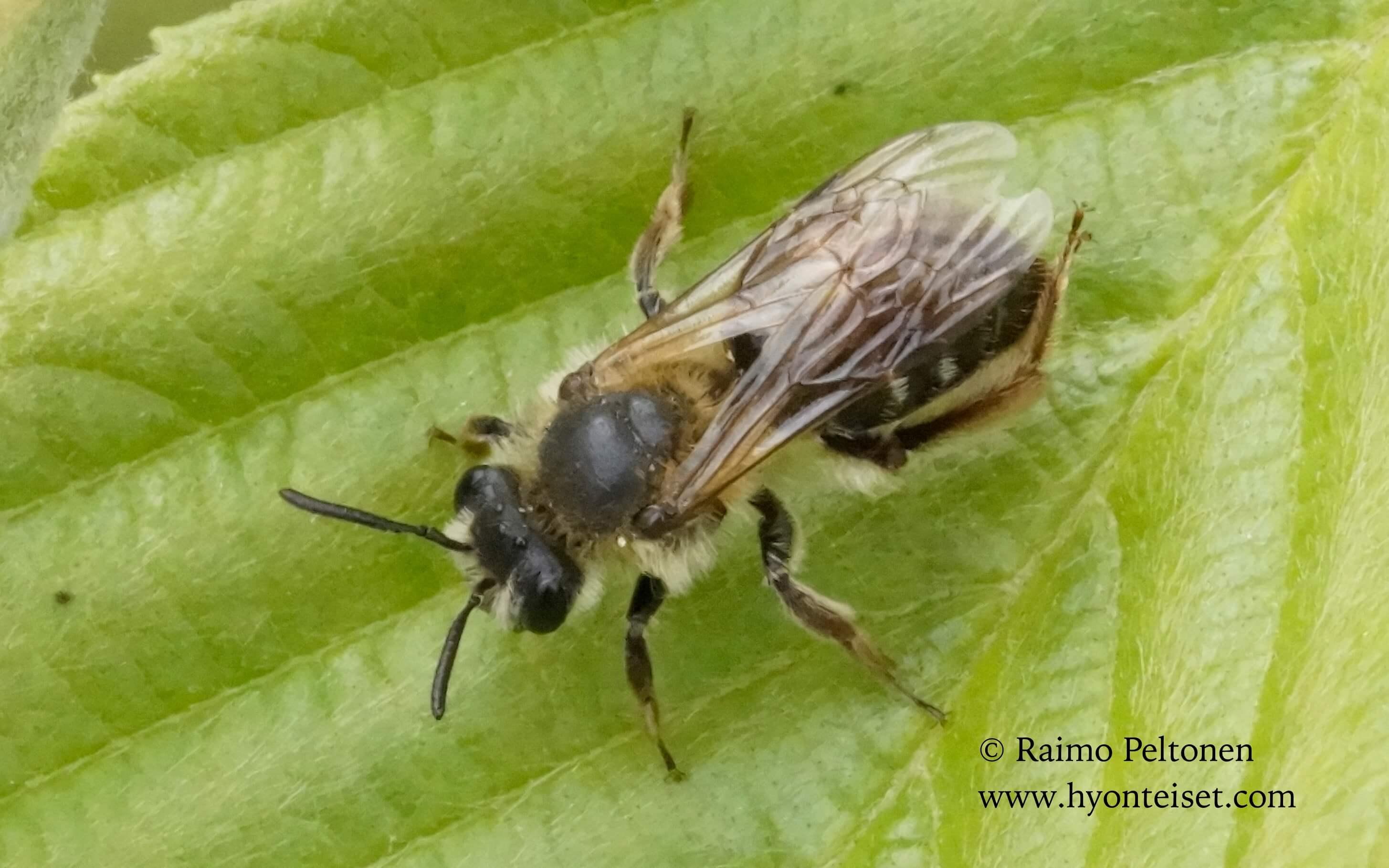 Andrena fucata/albilabris, naaras (det. Juho Paukkunen), 15.7.2016 Jyväskylä