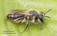 Andrena fucata/barbilabris 2