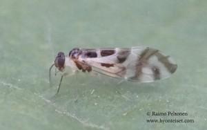 Graphopsocus cruciatus 2