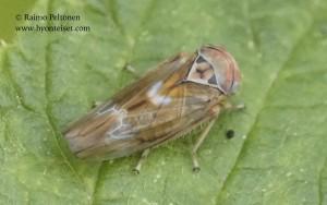 Populicerus laminatus 3