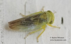 Populicerus laminatus 4