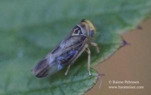 Populicerus laminatus 5