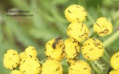 Triphidae sp. 2