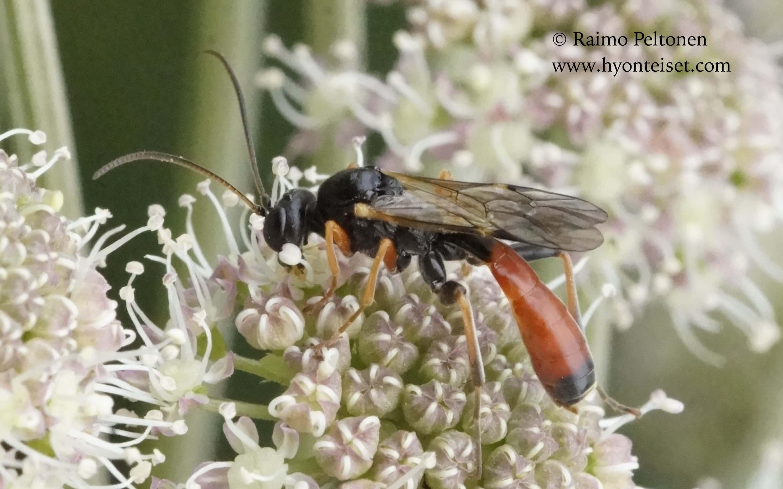Tryphoninae sp.-piinuriahmanen (det. Reijo Jussila), 9.7.2016 Jyväskylä