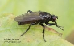 cf. Crumomyia sp. 2
