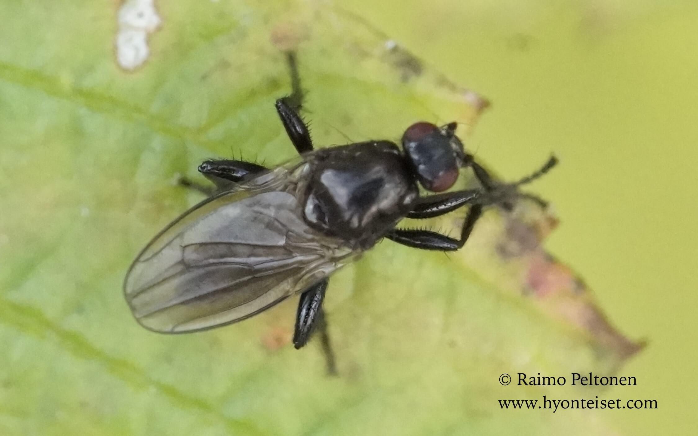 cf. Crumomyia sp. (det. Paul Beuk), 27.9.2016 Jyväskylä