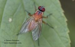 Achanthiptera rohrelliformis 1