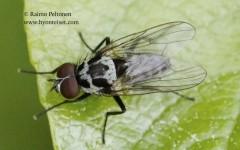 Anthomyia procellaris 1